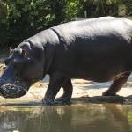 hippopotamus-1172611_640